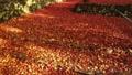 11月秋  紅葉の鶏足寺  滋賀の秋景色 29372783
