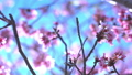 cherry blossom, cherry tree, fake buyer 29375385