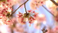 cherry blossom, cherry tree, fake buyer 29375386