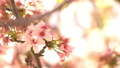 cherry blossom, cherry tree, fake buyer 29375387