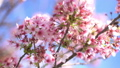 cherry blossom, cherry tree, fake buyer 29375388