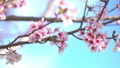 cherry blossom, cherry tree, fake buyer 29375389
