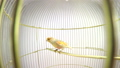 singing canary in a cage isolated on a white scree 29403622