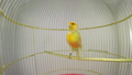singing canary in a cage isolated on a white scree 29403623