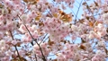 Double cherry blossoms 29480070
