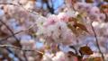 八重桜 29480071