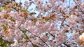 Double cherry blossoms 29480073