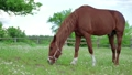 The horse grazing on a green meadow 29482204