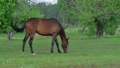 Beautiful brown horse grazing on a green meadow 29482251