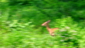White Spotted Axis Deers hurrying through bushes 29568102