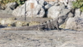 Mexican iguana wildlife 29599472
