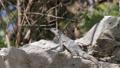 Mexican iguana wildlife 29599473