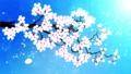 満開になる桜の花びら 青背景 29601255
