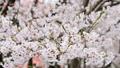 cherry blossom, cherry tree, yoshino cherry tree 29740630
