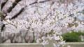 cherry blossom, cherry tree, yoshino cherry tree 29740631