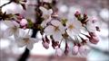桜の花「ソメイヨシノ」天の川河川敷:大阪府枚方市 29742559
