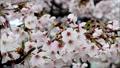 桜の花「ソメイヨシノ」天の川河川敷:大阪府枚方市 29742578