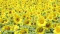 広大なひまわり畑(フィクス撮影) 29751240