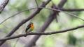 キビタキ 小鳥 野鳥の動画 29799431