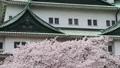 cherry blossom, cherry tree, sakura 29888086