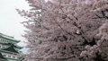 cherry blossom, cherry tree, sakura 29888088