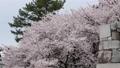 cherry blossom, cherry tree, sakura 29888092