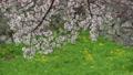 桜舞い散る名古屋城のお堀 フィクス撮影 29888191