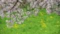 桜舞い散る名古屋城のお堀 フィクス撮影 29888192