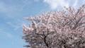 桜吹雪と青空 29902580