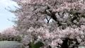桜吹雪と青空 29902591