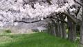 cherry blossom, cherry tree, cherry petals falling like snowflakes 29902592