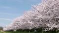 桜と青空とランナー 29902606