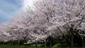 cherry blossom, cherry tree, row of cherry trees 29902611