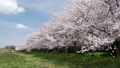 cherry blossom, cherry tree, wood 29902616