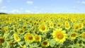 ヒマワリ 花 向日葵畑の動画 29902818