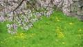 花びらの浮遊(夢の中イメージ)名古屋城のお堀 フィクス撮影 29911392