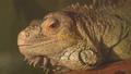 爬行动物 蜥蜴 鬣蜥蜴 29917034