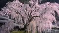 20170415身延山久遠寺の枝垂桜 29920133