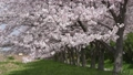 桜吹雪の並木 29924459