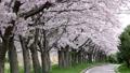 桜吹雪の並木道 29924460