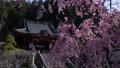 身延山久遠寺境内のしだれ桜 29952594