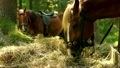 Two beautiful brown horses are eating hay. 30067037
