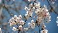 桜 ズームイン 30081123