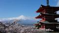 富士山タイムラプス 新倉富士浅間神社 満開の桜と頂に激しく流れる雲 2017年4月 パン 30083280
