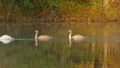 Family of white swans swims along autumn lake 30099512
