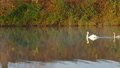 Family of white swans swims along autumn lake 30099513