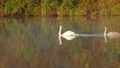 Family of white swans swims along autumn lake 30099514