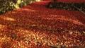 11月秋  紅葉の鶏足寺  滋賀の秋景色 30114749