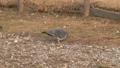 荒川河川敷にいる鳩 30182073