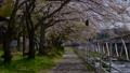 2017/04/25富士吉田市桂川河川敷の桜吹雪 30216253